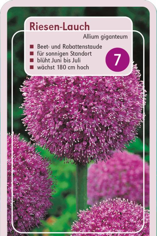 pflanzenguide f r allium giganteum riesen lauch. Black Bedroom Furniture Sets. Home Design Ideas