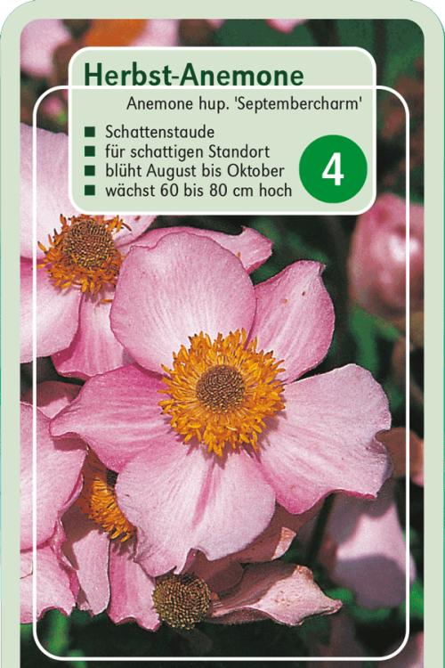 Pflanzenguide Fur Anemone Hup Septembercharm Herbst Anemone