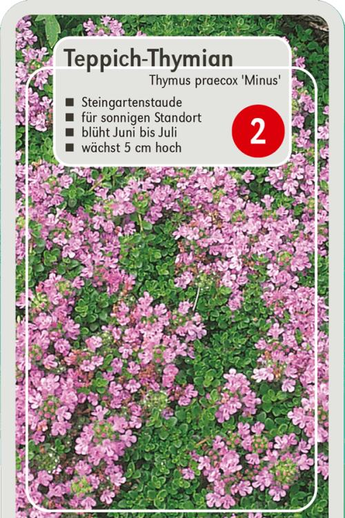 pflanzenguide f r thymus praecox 39 minus 39 teppich thymian. Black Bedroom Furniture Sets. Home Design Ideas