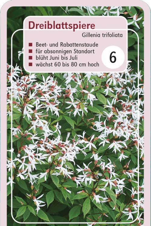 Pflanzenguide Für Gillenia Trifoliata Dreiblattspiere