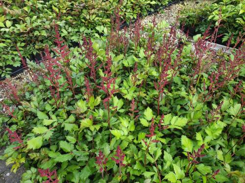 Astilbe chinensis  Visions in Red
