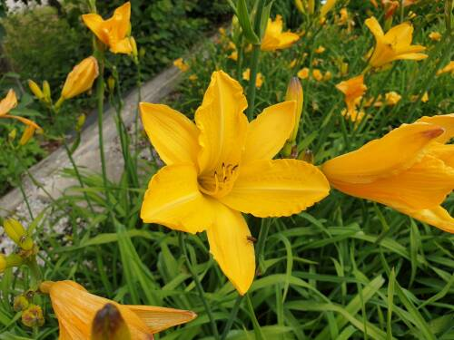Hemerocallis x cult   Cartweels