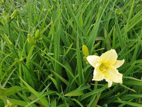 Hemerocallis x cult   Iron Gate GlacP1 0