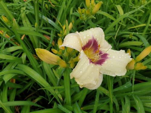Hemerocallis x cult   Pandoras Box