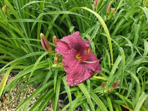 Hemerocallis x cult   Purple Rain